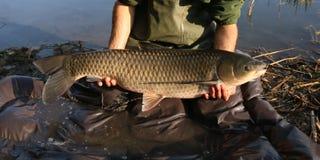 钓鱼者捉住的大阿穆尔河在钓鱼竞争 库存图片