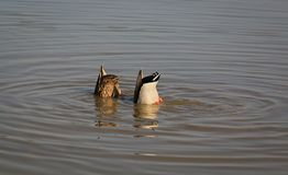 钓鱼野鸭在河 免版税库存图片