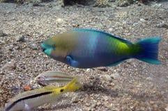 钓鱼鹦鹉红海 免版税库存图片