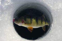 钓鱼黄色的河鲈的冰 免版税库存图片