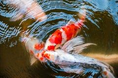 钓鱼(nishikigoi)争夺吃饲料池塘的Koi群 库存图片