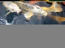 钓鱼koi池塘 免版税图库摄影