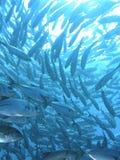 钓鱼trevally水下的学校 图库摄影