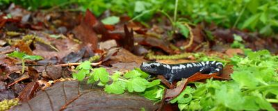 钝口螈属使有大理石花纹的opacum蝾 免版税库存图片
