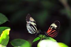 钢琴关键蝴蝶 库存照片