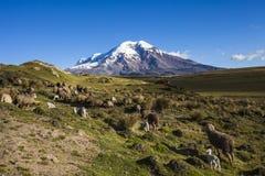 钦博拉索山火山和绵羊 免版税库存图片