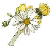 钮扣眼上插的花菊花白色 免版税库存图片