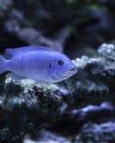钴蓝色斑马非洲人丽鱼科鱼 图库摄影