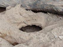 钻孔或挖洞或者用土壤做的meerkat并且铺沙与木注册上面 免版税库存照片