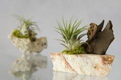 铁兰植物和岩石 免版税图库摄影