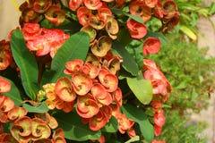 铁海棠亚洲红色桃红色和黄色花 库存照片