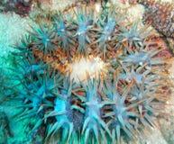 铁海棠海星迷离 库存图片