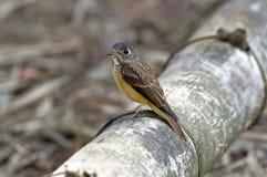 铁的泰国的捕蝇器Muscicapa ferruginea美丽的鸟 库存照片