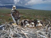 铁的鹰(鵟鸟regalis) 免版税库存照片