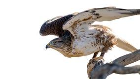 铁的鹰 免版税库存照片