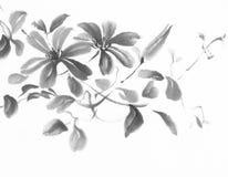 铁线莲属墨水绘画 免版税库存照片