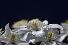 铁线莲属白色 免版税库存图片