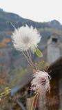 铁线莲属种子荚 库存图片