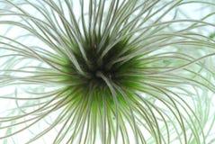 铁线莲属种子 图库摄影