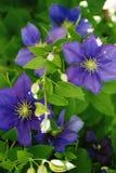 铁线莲属紫色 库存照片