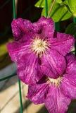 铁线莲属美丽的紫色花在庭院里 库存图片