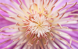 铁线莲属花在春天 图库摄影
