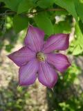 铁线莲属 紫色卷曲花 绿色开花的藤本植物 图库摄影