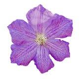 铁线莲属紫罗兰色花,登山人,被隔绝的,接近的女王/王后 库存照片