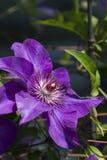 铁线莲属jackmanii紫色皇家藤 免版税库存照片