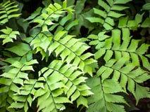 铁线蕨叶子 库存照片