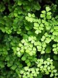 铁线蕨叶子 免版税图库摄影