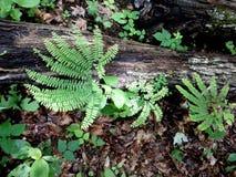 铁线蕨和下落的日志 库存图片