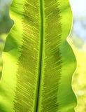 铁角蕨属巢的芽胞囊群 免版税库存图片