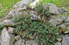 铁角蕨属羊齿植物,所谓的Rustyback 免版税库存图片