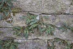 铁角蕨属羊齿植物,蕨 免版税库存图片