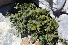 铁角蕨属芸香Muraria在夏日 免版税图库摄影