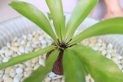 铁角蕨蕨 免版税库存图片