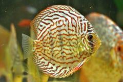 铁饼鱼在水族馆的Symphysodon Aequifasciatus 库存照片