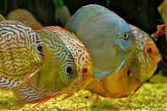 铁饼鱼在水族馆的Symphysodon Aequifasciatus 库存图片