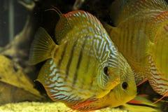 铁饼鱼在水族馆的Symphysodon Aequifasciatus 免版税库存照片