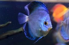铁饼鱼,蓝色Symphysodon铁饼。 库存图片