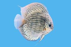 铁饼鱼,金黄绿松石 库存照片