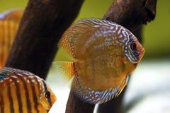 铁饼鱼Symphysodon 库存照片
