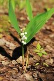 铃兰在春天森林,俄罗斯里 免版税库存照片