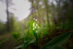 铃兰在黑暗的森林里开了花 库存照片
