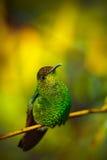 铜制带头的绿宝石, Elvira cupreiceps,美丽的蜂鸟从,绿色鸟,场面在热带森林,在自然的动物里 免版税库存图片