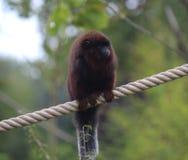 铜制的伶猴 免版税图库摄影
