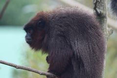 铜制的伶猴 免版税库存照片