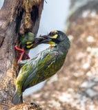 铜匠热带巨嘴鸟Megalaima haemacephala Statius研磨器鸟,鸟哺养 库存图片