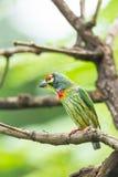 铜匠热带巨嘴鸟 库存照片
